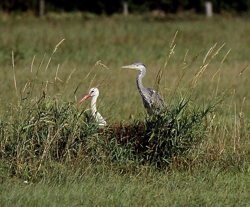 Artübergreifende Freundschaft: Storch und Graureiher auf gemeinsamer Jagd