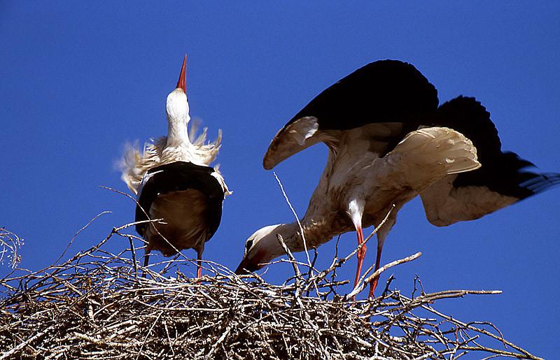 Storchenbalz auf dem Nest