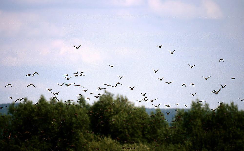 Stare sind sehr gesellige Vögel