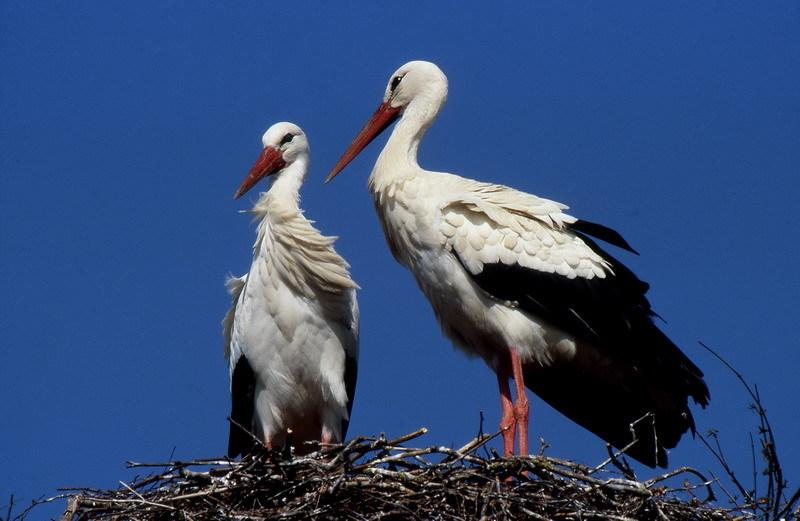 Das vereinte Storchenpaar