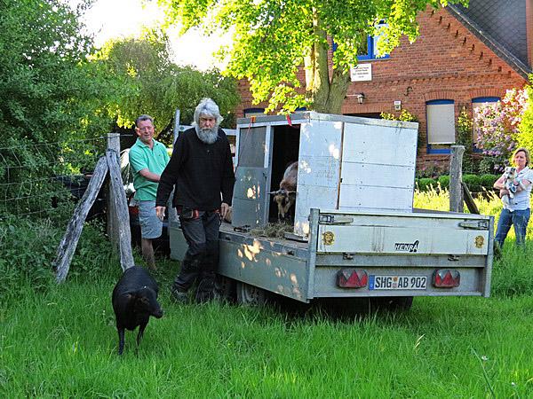 Das erste Schaf traut sich, und die anderen folgen dann sehr schnell.