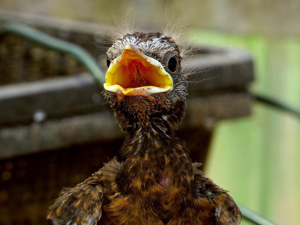 Immer hungrig wie dieses Amselküken sind alle Jungvögel