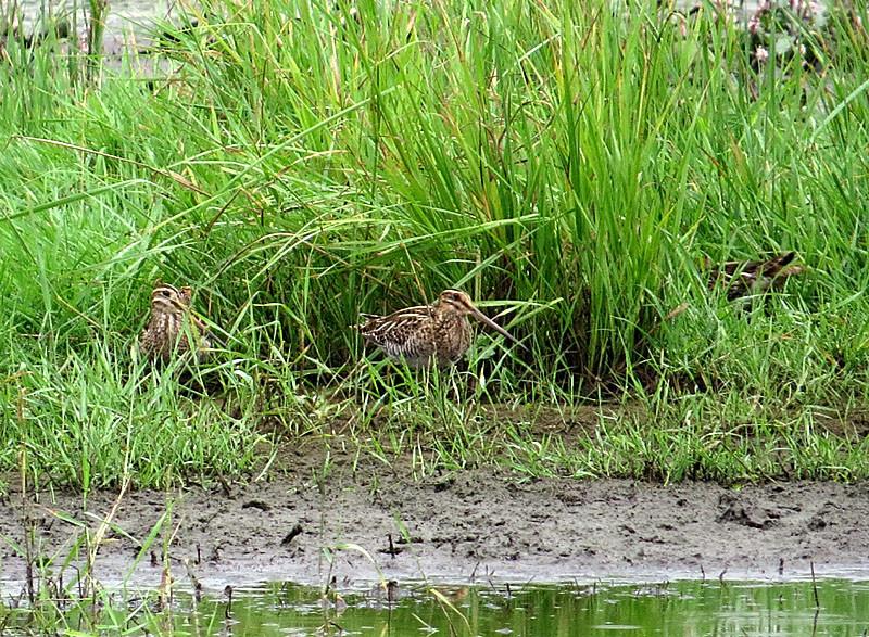 Drei Bekassinen gemeinsam. Die dritte rechts versteckt sich gerade hinter Grasbüscheln