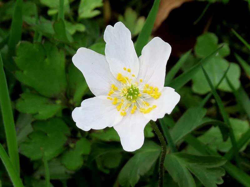 Jetzt im Frühjahr blühen auch hier die Buschwindröschen