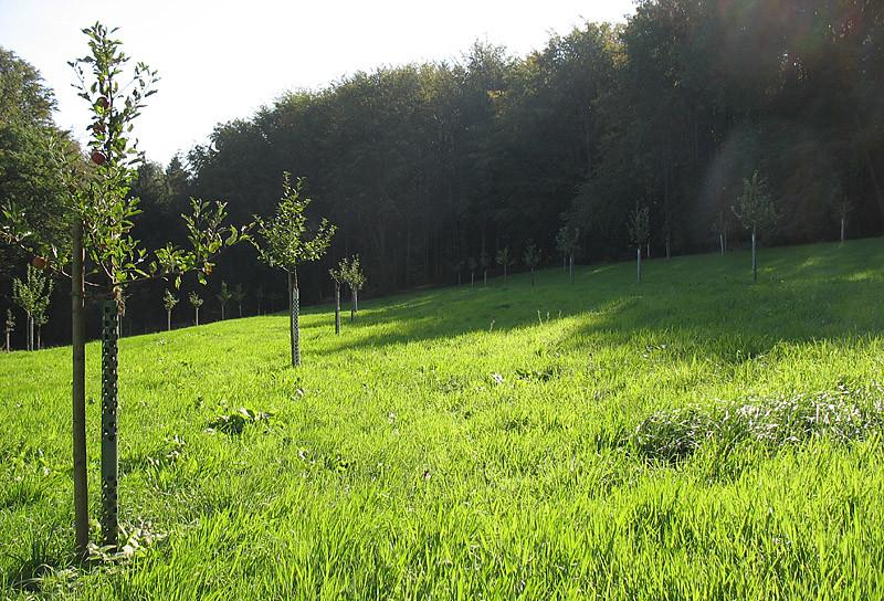 Nach 1 1/2 Jahren hat sich unsere Streuobstwiese prächtig entwickelt. Bis auf wenige sind die Bäume gut angegangen. Wir hoffen, dass demnächst ein Schäfer mit seiner Herde das Gras kürzen wird