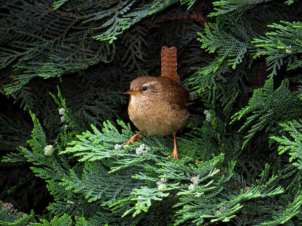 Der Zaunkönig, unser kleinster Vogel