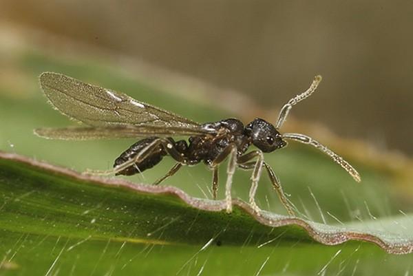 Крылатая самка