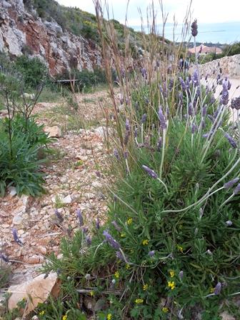 Wilder Lavendel am Wegesrand.