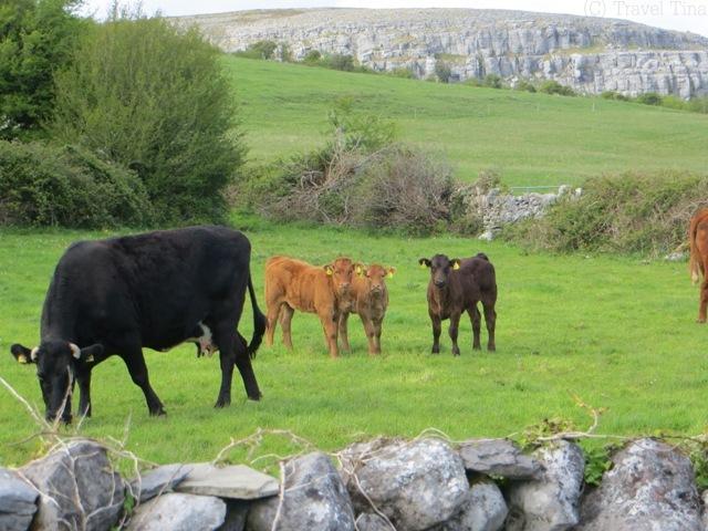 Zwischen den Steinmauern trifft man hier überall auf Kühe und nicht wie erwartet Schafe.