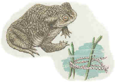 Erdkröte mit ihrem Laich, gemalt von Paul Packulat, NABU Geesthacht