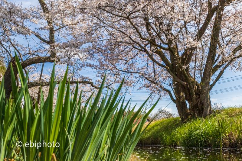 今日の一枚 小川と桜