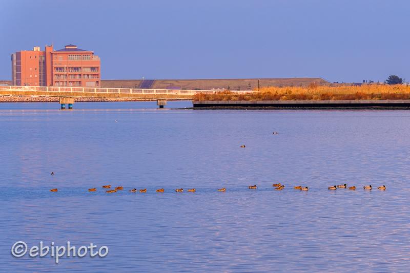 今日の一枚 行列のできる鳥の海・マガモ一家の大移動