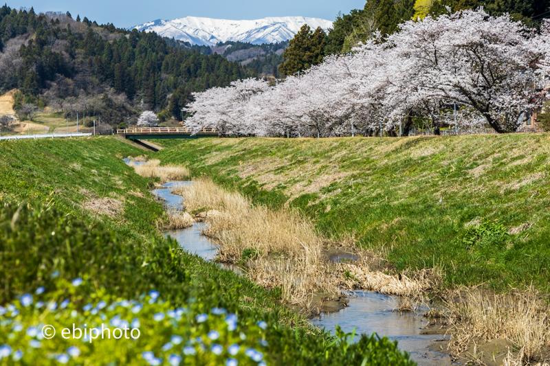 宮城県南部の桜