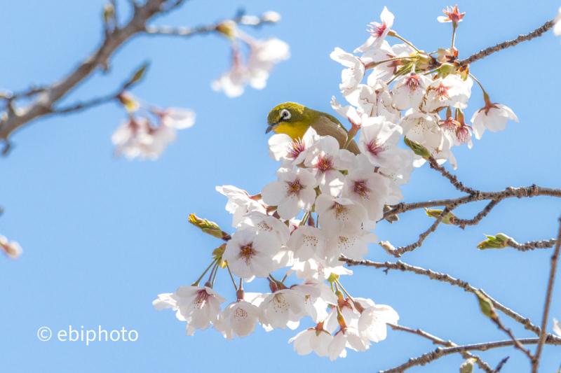 桜とメジロ2