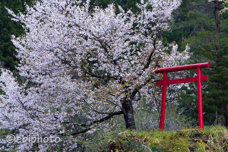 今日の一枚 朝日町の桜