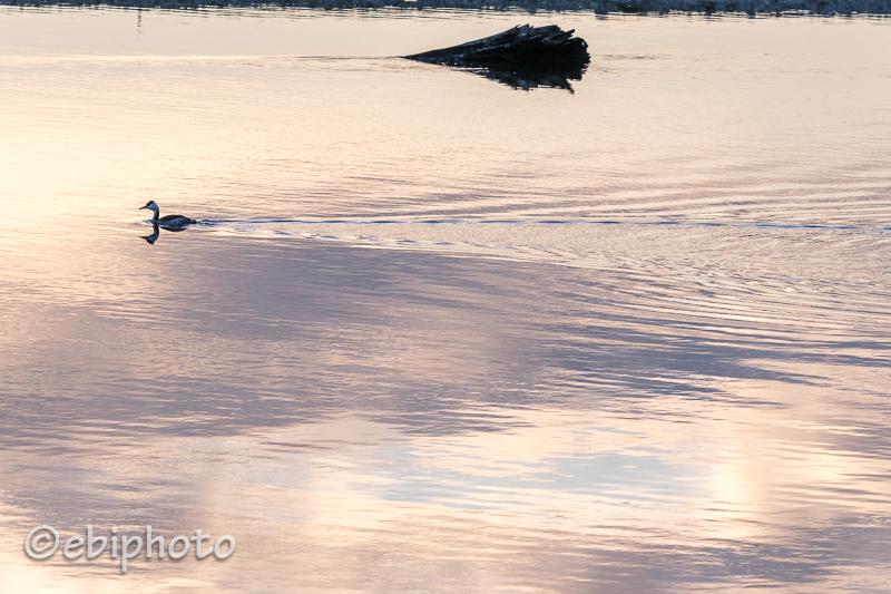 今日の一枚 阿武隈川のカンムリカイツブリ