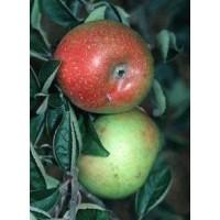 appelboom court pendu, malus domestica court pendu, bewaarappel