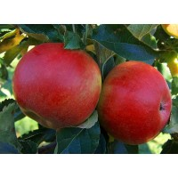 malus domestica idared, appelboom ida red, bewaarappel