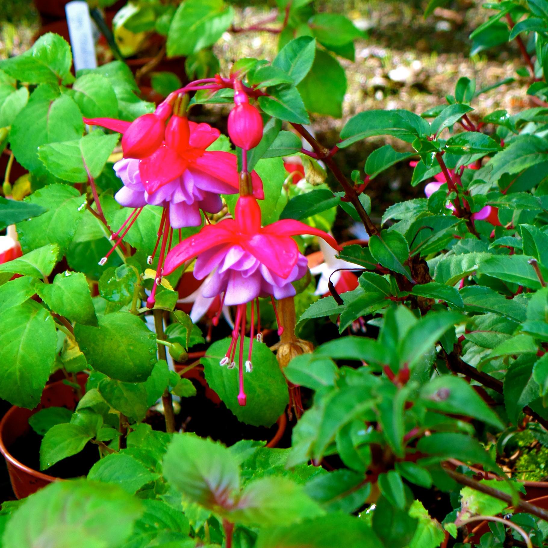 Struiken Met Bloemen Voor In De Tuin.Fuchsia Struiken Vol Bloemen En Eetbare Bessen Kweken In