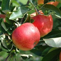 malus domestica fiesta, appelboom fiesta, bewaarappel