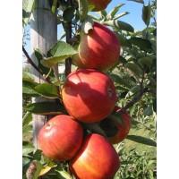 malus domestica elise, appelboom elise, bewaarappel