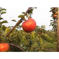 appelboom arlet, malus domestica arlet, bewaarappel