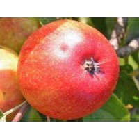appelboom gala, malus domestica gala, bewaarappel