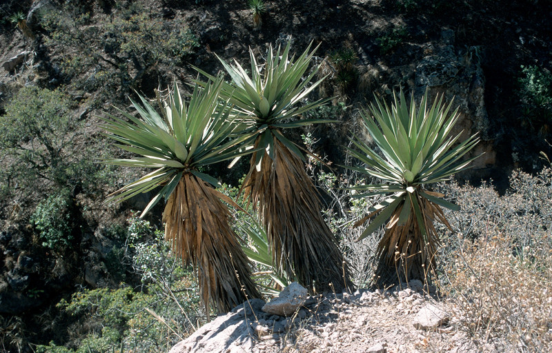 Bild Yucca madrensis © Michael Bechtold