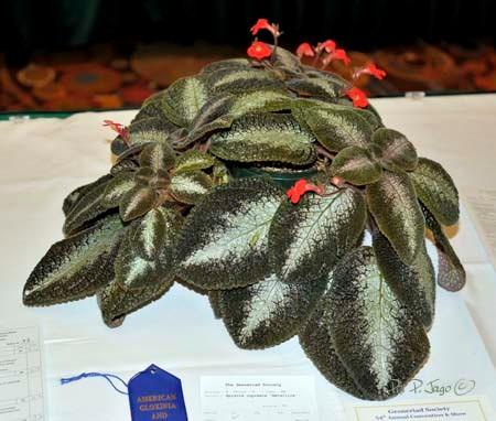 Episcia cupreata metallica - Ph: P. Jago©
