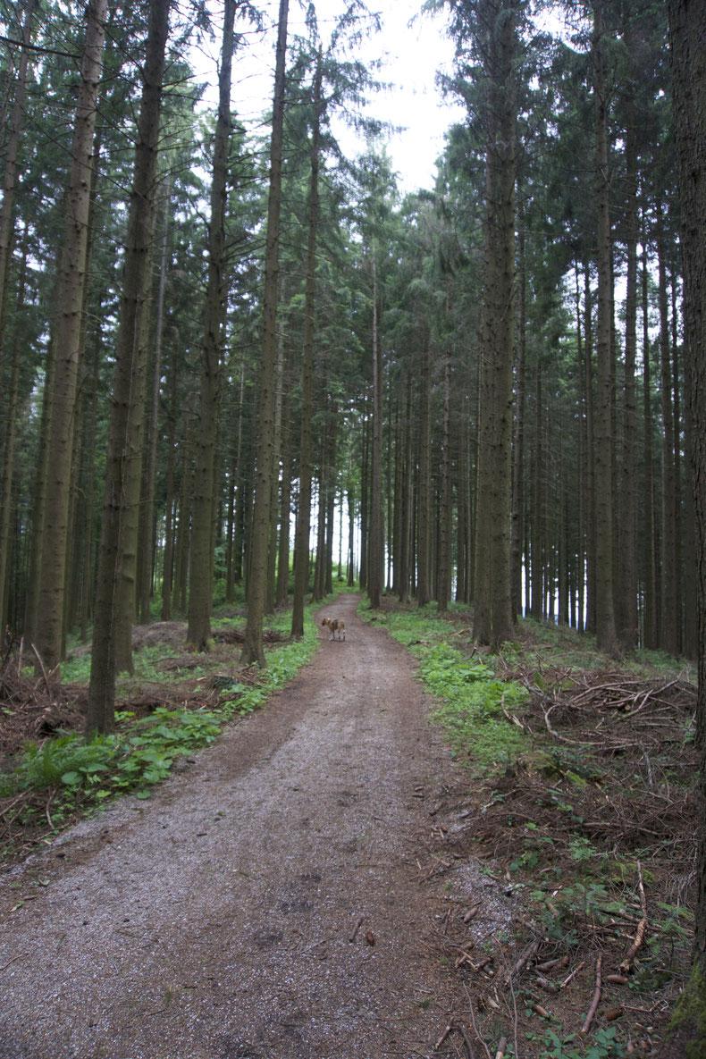 Hinein in den Fichtenwald