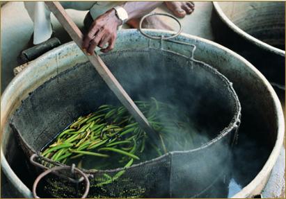 Abkochen der Vanille um den Reifeprozess zu stoppen
