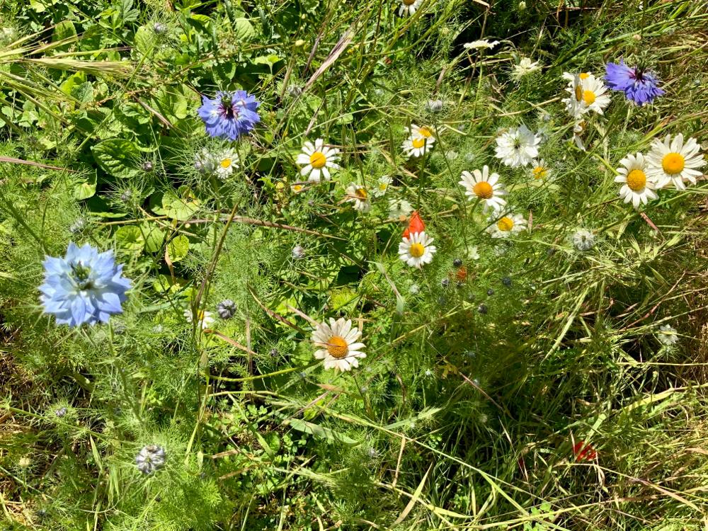 Fleurs spontanées