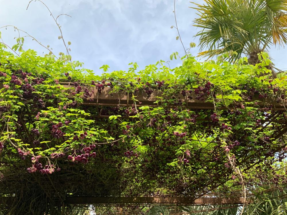 Arkébie à cinq feuilles