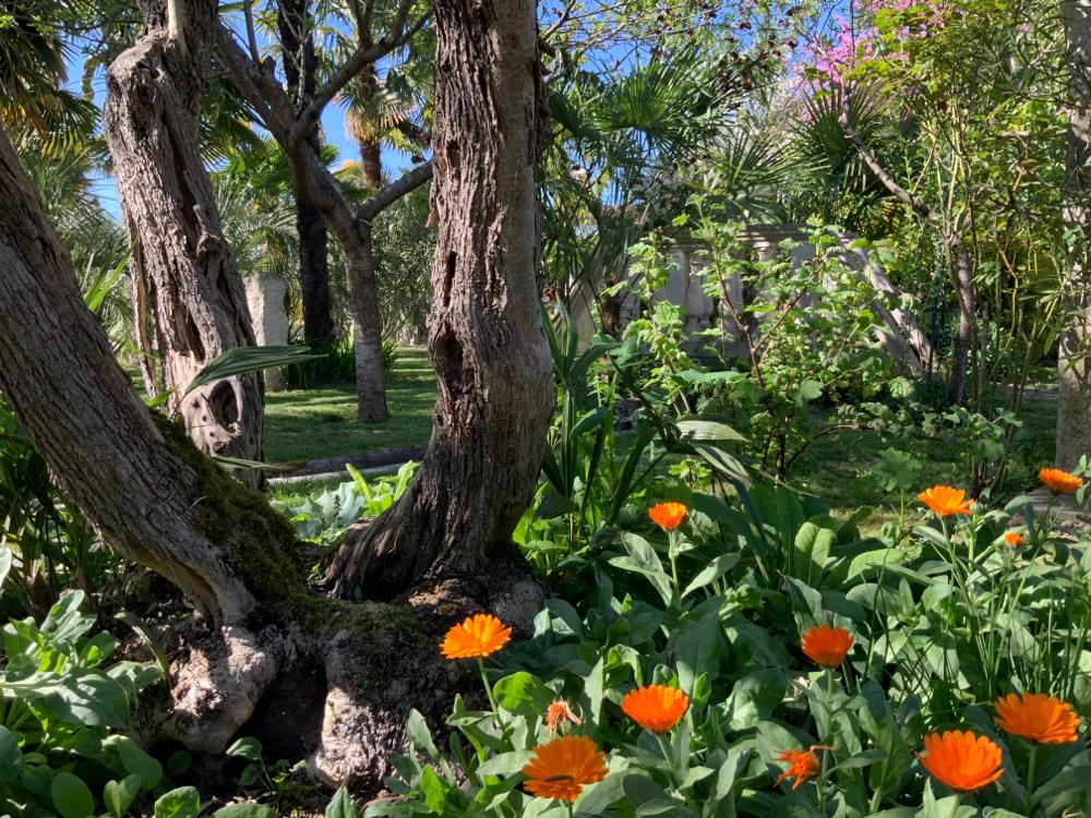 Tronc d'oliviers, fleurs de soucis