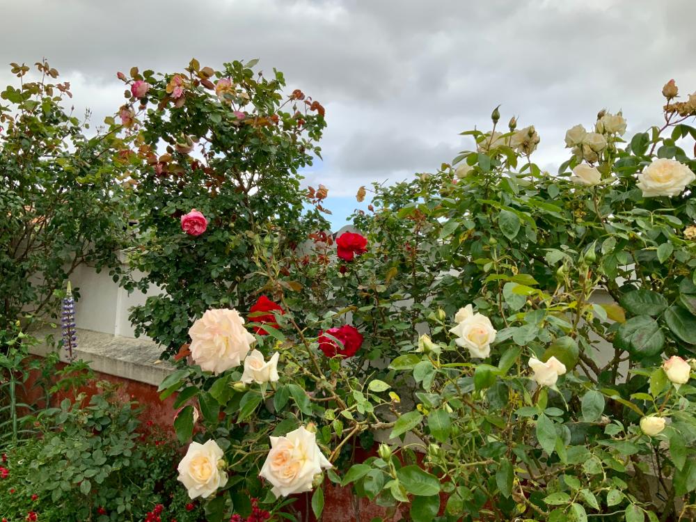 Mille et une rose