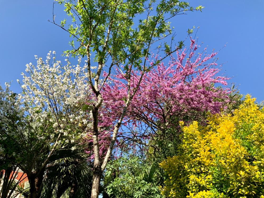 Cerisier, amandiers, judée