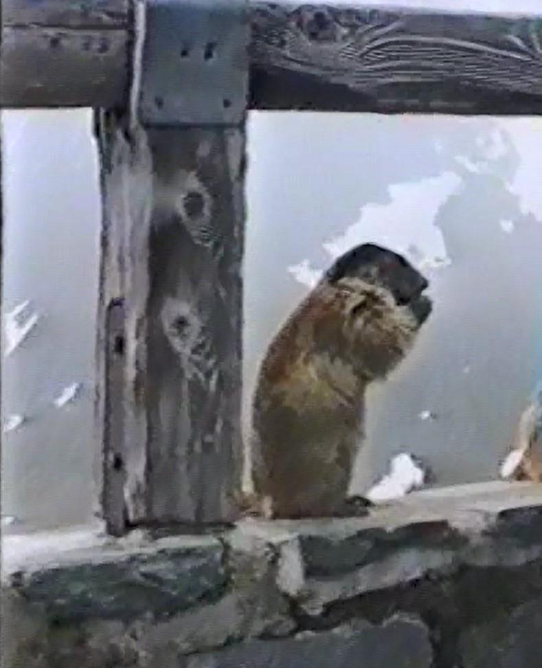 Murmeltiere am Großklocknerausblick