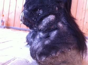 Wird Milbenbefall nicht behandelt, kommt es häufig zur Warzenmauke. Diese Pferde bleiben in Folge meist anfällig für erneuten Milbenbefall.