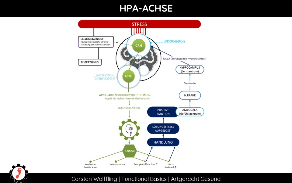 Adrenal Fatigue HPA Achse