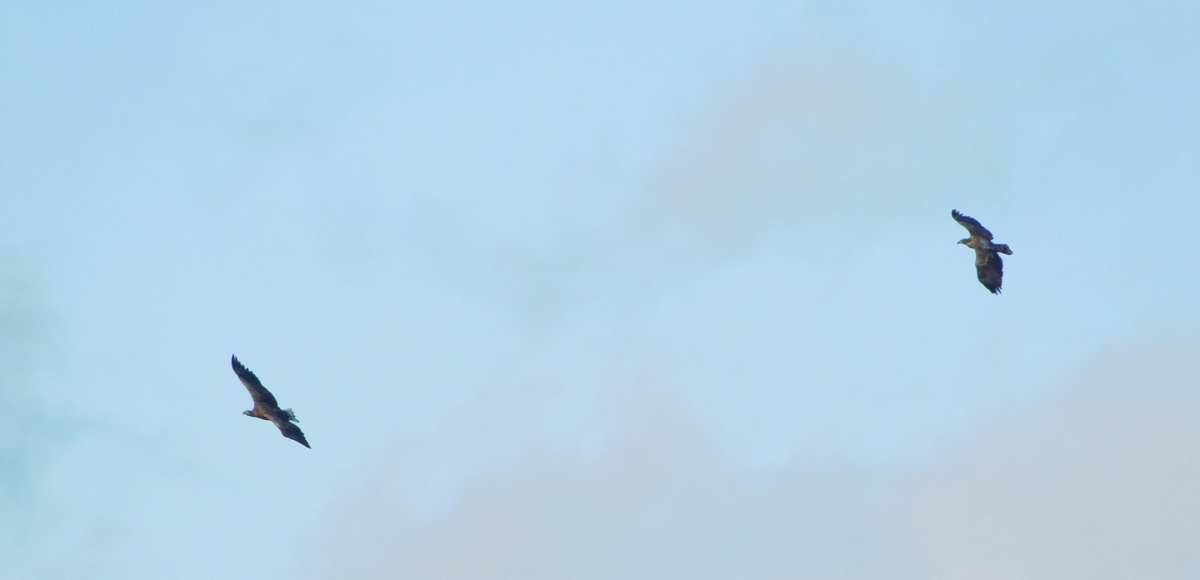 Seeadler.