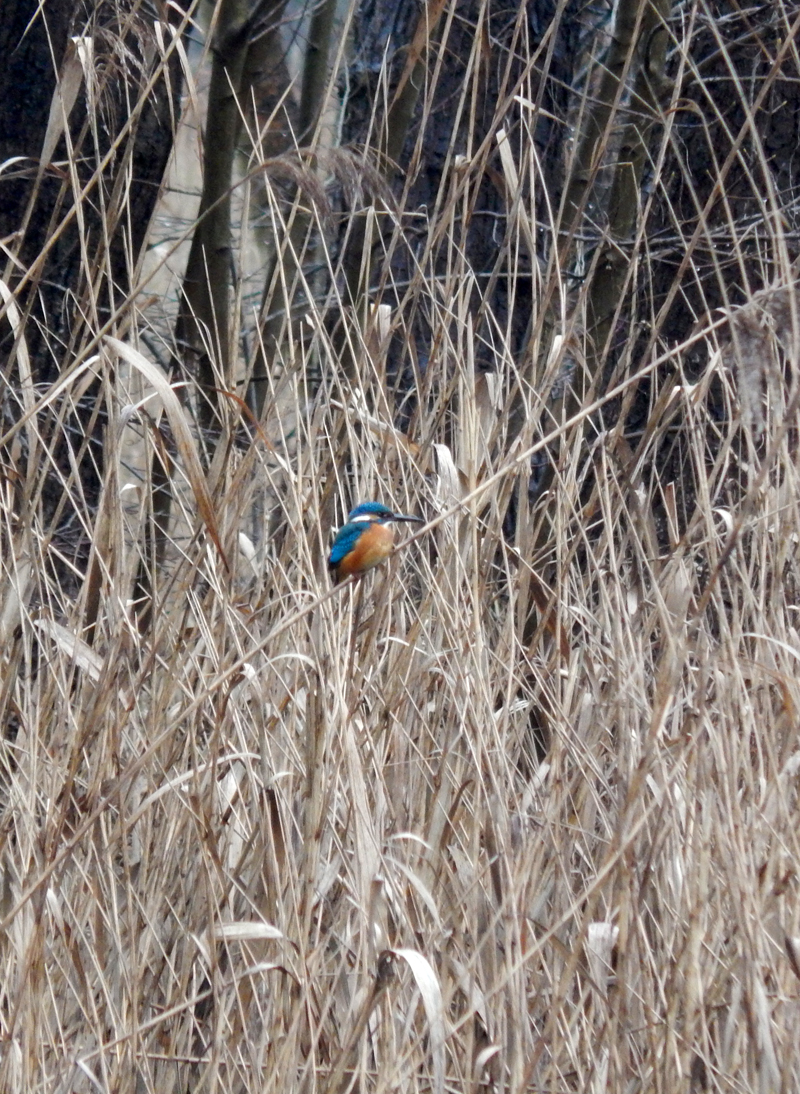 Eisvogel am Templiner Kanal.