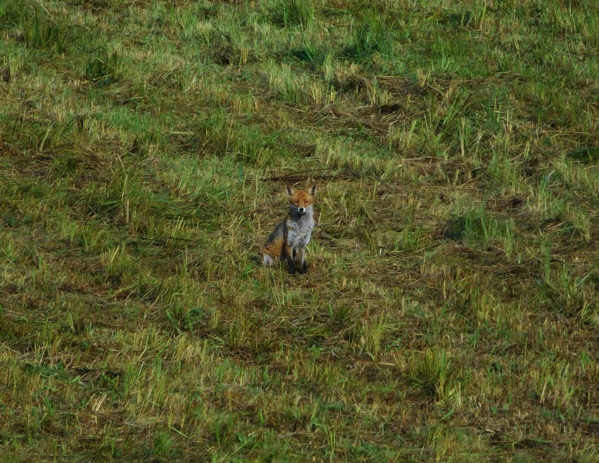 Ein Fuchs auf unserer Wiese.
