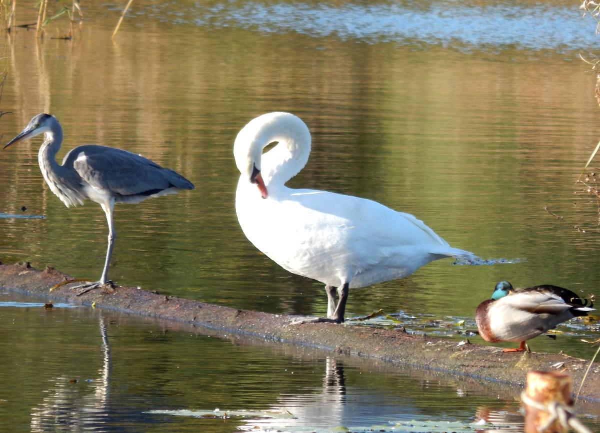 Wasservögel am Kanal.