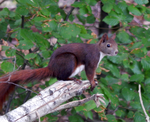 Junges Eichhörnchen.