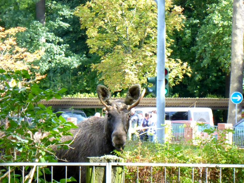 Ein verirrter Elch am Bürgergarten in Templin.