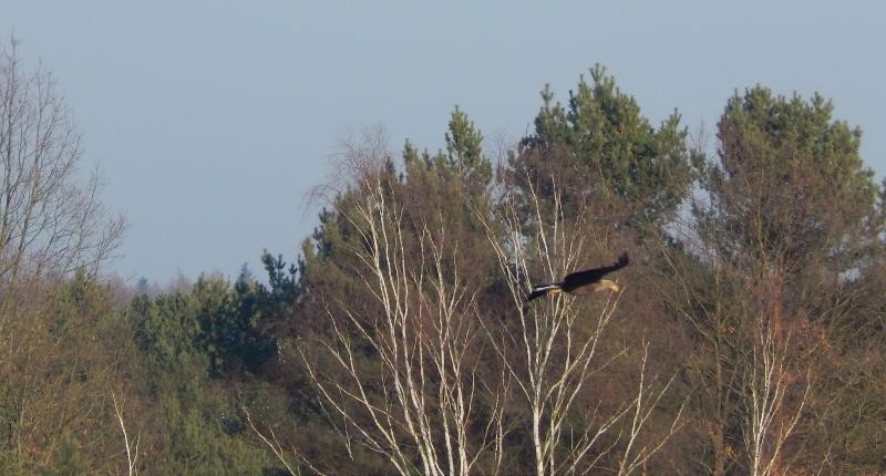 """Seeadler im  Naturschutzgebiet ,,Kleine Schorfheide""""."""