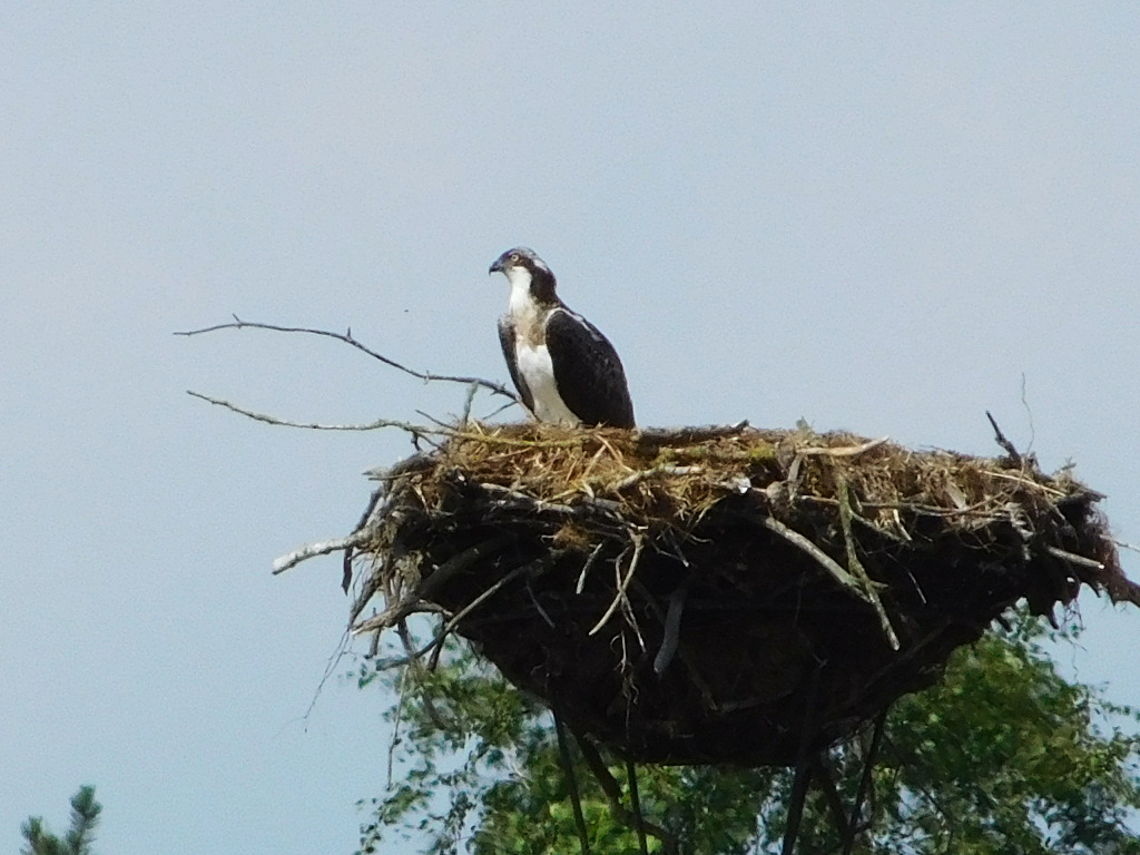 Ein Fischadler im Templiner Stadtgebiet (Foto: Sven Heussen)