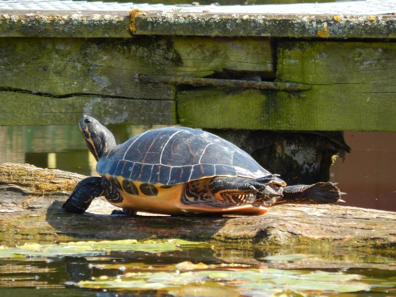 Wasserschildkröte sonnt sich am Kanal.