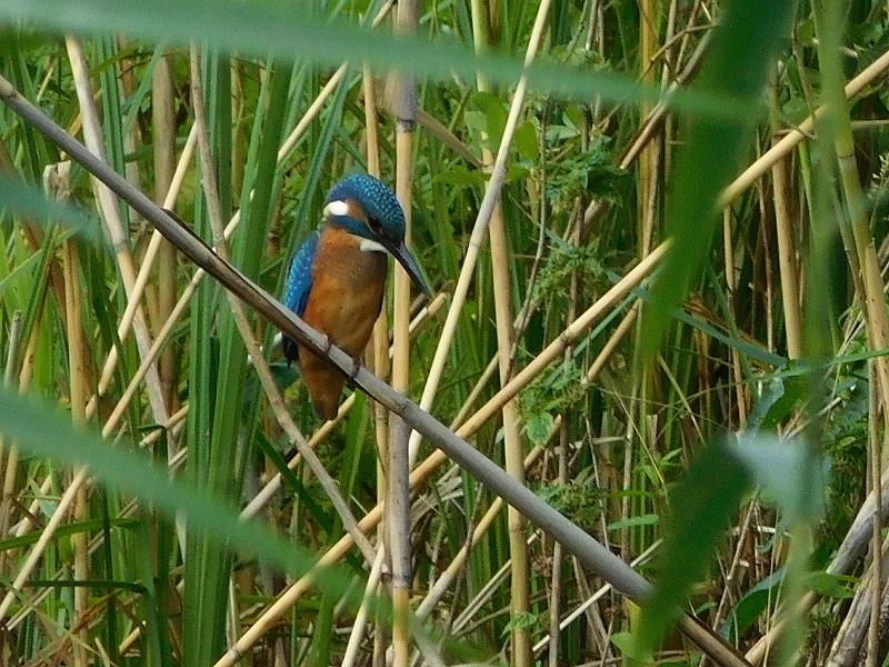 Eisvogel am Templiner Kanal (Foto: Sven Heussen)