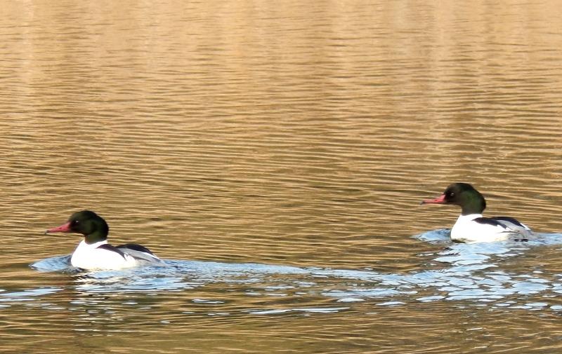 Gänsesäger Männchen Templiner Kanal.